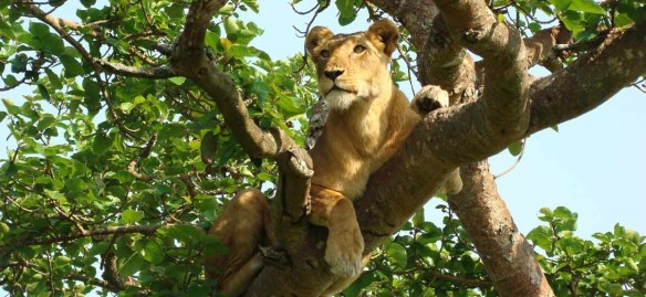 The Queen Elizabeth National Park has tree climbing Lions.