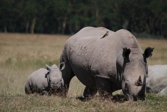 white-rhino-and-calf